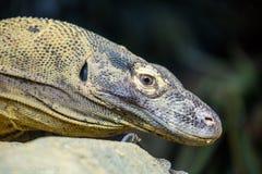 Komodo Smok zdjęcie stock