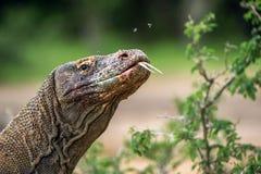 Komodo Smok blisko portret Zdjęcia Stock