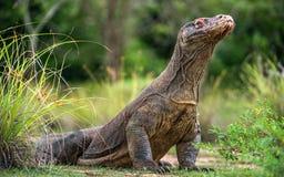 Komodo Smok blisko portret Varanus komodoensis Zdjęcia Stock