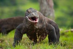Komodo smok jest na ziemi Indonezja Komodo park narodowy Zdjęcie Stock
