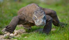 Komodo smok jest na ziemi Indonezja Komodo park narodowy Zdjęcia Royalty Free