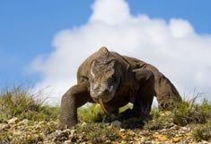 Komodo smok jest na ziemi Indonezja Komodo park narodowy Fotografia Stock