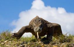 Komodo smok jest na ziemi Indonezja Komodo park narodowy Obraz Royalty Free