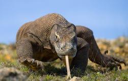 Komodo smok jest na ziemi Indonezja Komodo park narodowy Fotografia Royalty Free
