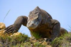 Komodo smok jest na ziemi Indonezja Komodo park narodowy Zdjęcie Royalty Free
