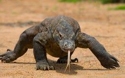 Komodo smok jest na ziemi Indonezja Komodo park narodowy Zdjęcia Stock