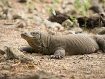 Komodo smok, Komodo park narodowy Zdjęcie Royalty Free