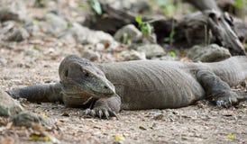 Komodo smok, Komodo park narodowy Fotografia Royalty Free