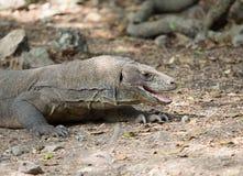 Komodo smok, Komodo park narodowy Zdjęcie Stock