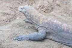 Komodo smok odpoczywa na piasku Obrazy Royalty Free