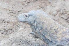 Komodo smok odpoczywa na piasku Obrazy Stock