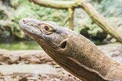 Komodo smok patrzeje blisko coś Zdjęcie Royalty Free