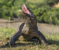 Komodo smok podnosił głowę i otwierał usta Komodo smok jest dużym żywym jaszczurką Obrazy Stock