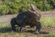 Komodo smok podnosił głowę i otwierał usta Komodo smok jest dużym żywym jaszczurką Obrazy Royalty Free