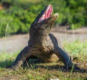Komodo smok podnosił głowę z otwartym usta Obraz Royalty Free