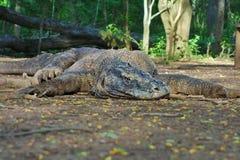 Komodo smok przy odpoczynkiem, Komodo wyspa, Indonezja obraz stock