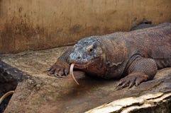 Komodo smok, Varanus komodoensis Obrazy Royalty Free