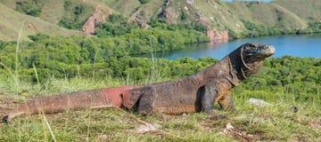 Komodo Smok Varanus komodoensis Indonezja Obraz Royalty Free
