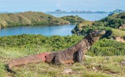 Komodo Smok Varanus komodoensis Indonezja Fotografia Stock