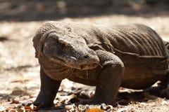 Komodo smok wielka jaszczurka w świacie Obraz Stock