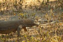 Komodo smok wielka jaszczurka w świacie Fotografia Stock