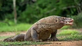 Komodo smok z rosochatym jęzorem obwąchuje powietrze blisko portret Fotografia Stock