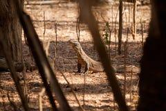 Komodo smoka duża jaszczurka przy parkiem narodowym Indonezja Fotografia Stock