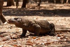 Komodo smoka duża jaszczurka przy parkiem narodowym Indonezja Zdjęcia Stock