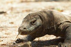 Komodo smoka duża jaszczurka przy parkiem narodowym Indonezja Zdjęcie Royalty Free