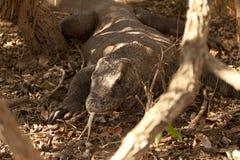Komodo smoka duża jaszczurka przy parkiem narodowym Indonezja Zdjęcie Stock