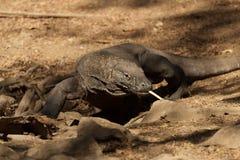 Komodo smoka duża jaszczurka przy parkiem narodowym Indonezja Obrazy Stock