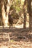 Komodo smoka duża jaszczurka z jelenim jedzeniem przy parkiem narodowym Indonezja Fotografia Royalty Free