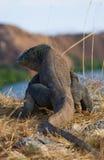 Komodo smoka obsiadanie na ziemi przeciw tłu oszałamiająco sceneria Ciekawa perspektywa Niska punkt strzelanina Zdjęcia Stock