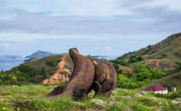 Komodo smoka obsiadanie na ziemi przeciw tłu oszałamiająco sceneria Ciekawa perspektywa Niska punkt strzelanina Zdjęcie Stock