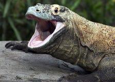 Komodo smoka portret Zdjęcia Royalty Free