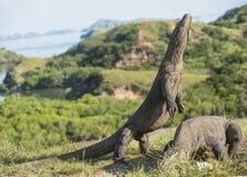 Komodo smoka stojaki na swój tylnych nogach otwartym usta i Komodo smok jest dużym żywym jaszczurką Zdjęcie Stock