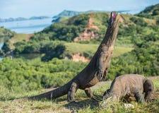 Komodo smoka Varanus komodoensis stojaki na swój tylnych nogach otwartym usta i Fotografia Royalty Free