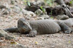 Komododraak, het Nationale Park van Komodo Stock Afbeelding