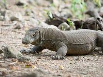 Komododraak, het Nationale Park van Komodo Stock Foto