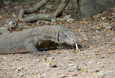 Komododraak, het Nationale Park van Komodo Royalty-vrije Stock Foto