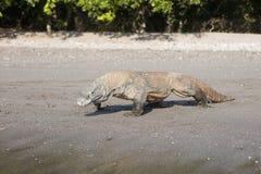 Komododraak op Sandy Beach Stock Afbeeldingen
