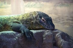 Komododraak in Sydney Taronga Zoo Stock Afbeelding
