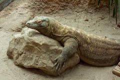 Komodoensis de varanus de dragon de Komodo se reposant sur la roche photo libre de droits