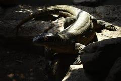 Komodoensis de varanus de Komodo Dragon Monitor sur une roche images libres de droits