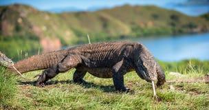 Komodoensis del Varanus del dragón de Komodo con el sn bifurcado de la lengua Fotografía de archivo libre de regalías
