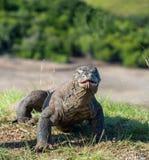 Komodoensis del Varanus del dragón de Komodo con la lengua bifurcada Foto de archivo libre de regalías