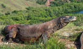 Komodoensis del Varanus del dragón de Komodo con la lengua bifurcada Fotografía de archivo
