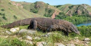 Komodoensis för Varanus för Komodo drake med den delade tungsnen Royaltyfri Bild