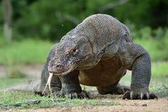 Komodoensis van Varanus van de Komododraak met vertakt tongsn royalty-vrije stock foto's