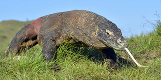 Komodoensis van Varanus van de Komododraak met vertakt tongsn stock fotografie